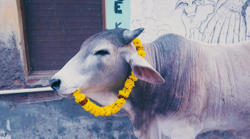 корова, гирлянда, Индия