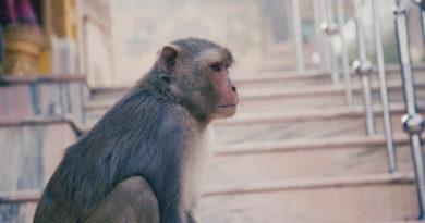 обезьяна, Вриндаван, Индия