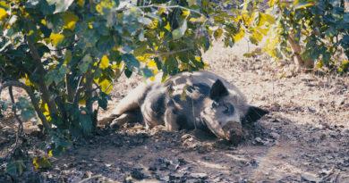 Отдыхающая свинья во Вриндаване. Индия