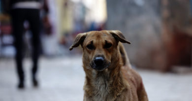 Собака. Вриндаван. Индия
