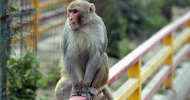 Обезьяна во Вриндаване. Индия