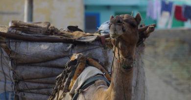 Верблюд во Вриндаване. Индия