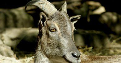 козёл, гималаи, гималайский козёл