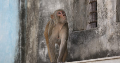 индия, обезьяна, бандер
