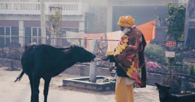 корова, Вриндаван, садху