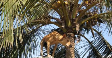 Собака в Джаганнатха-Пури. Индия