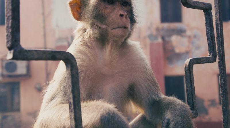 обезьяна, индия, вриндаван