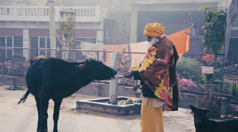 садху, корова, индия